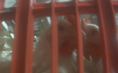 chickens in crate