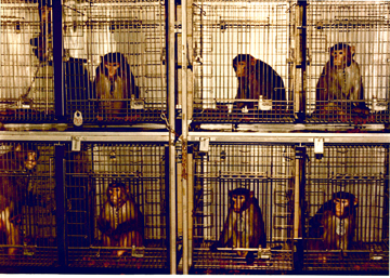 Captive macaques in a research facility (Photo courtesy of Brian Gunn)