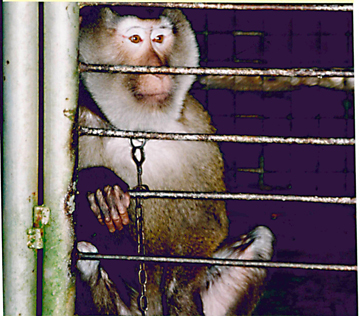 Macaque in testing facility (Photo courtesy of Brian Gunn)