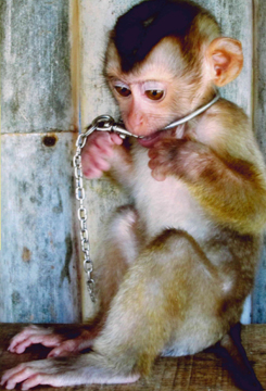 Baby macaque in research facility (Photo courtesy of Brian Gunn)