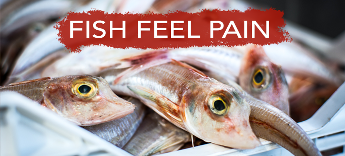 fish feel pain header