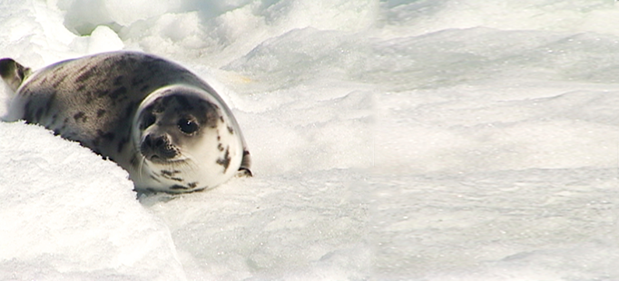 canadas bloody seal hunt header