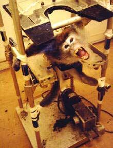 Monkey at vivsection lab
