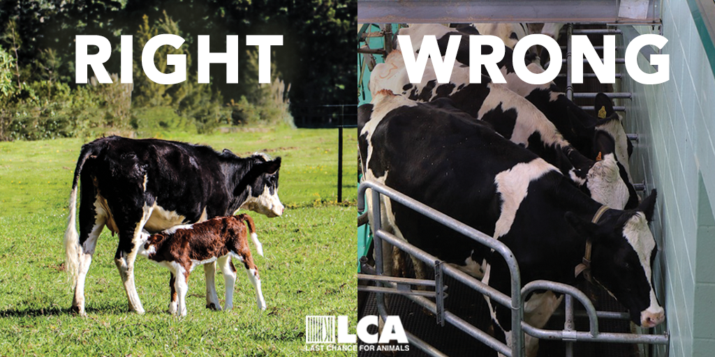 right wrong cow tw