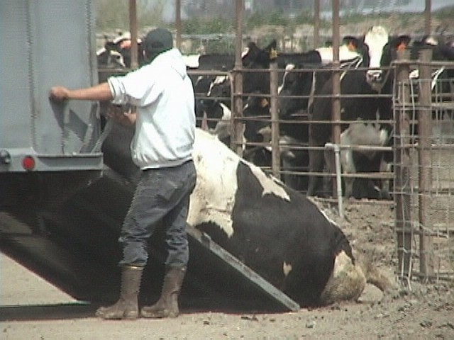 Downed cow being loaded for slaughter