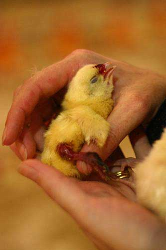 Deceased chick at factory farm