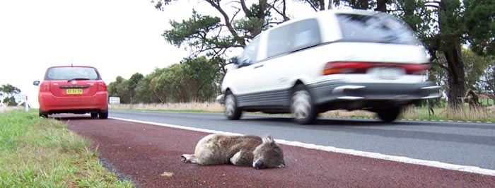 Dead koala on the side of a highway