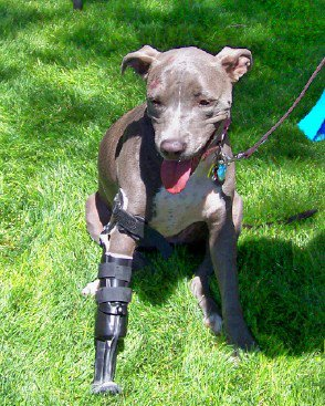 Valentine, with her prosthetic leg, now  lives happily with her adoptive family