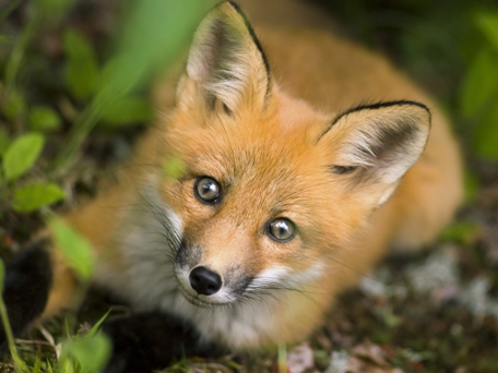 cute fox face
