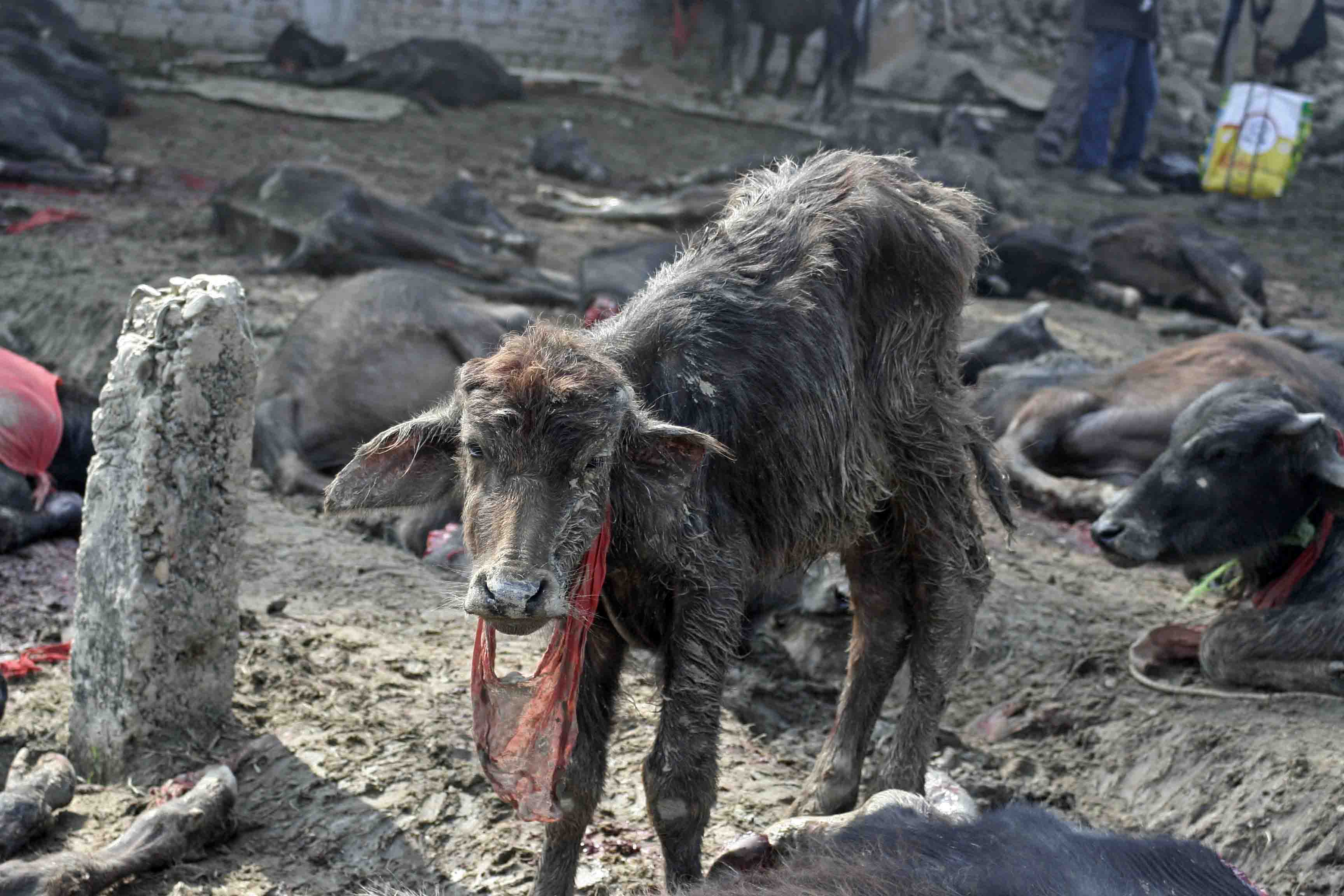 Gadhimai Festival comes to an end