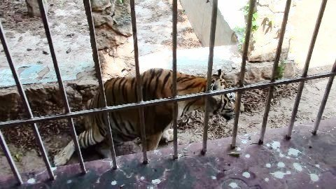 Bengal Tiger with dislocated leg