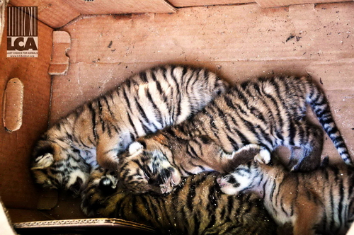 Tiger cubs in a cardboard box