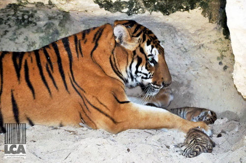 """Tabitha"" with newborn cubs"