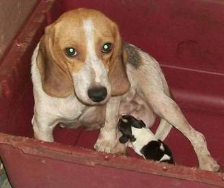 Nursing Beagle at Hawaiian Puppy Mill
