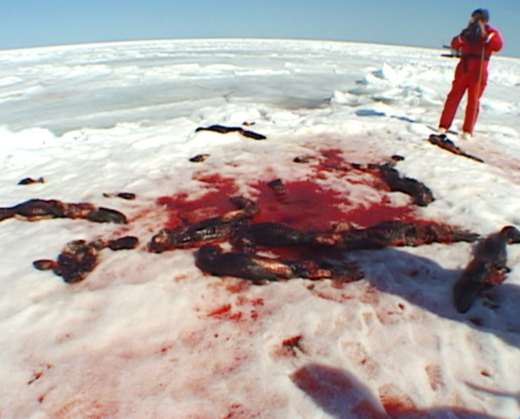 Seal Carcasses on the ice