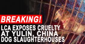 LCA Undercover Investigation Exposes Cruel Slaughterhouses of the Yulin Dog Meat Festival in China