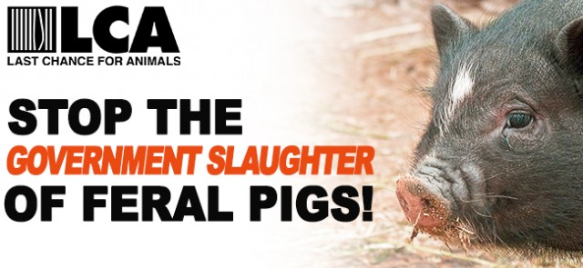 2,000 Feral Pigs Sentenced to Death!! Act Now to Save Them!