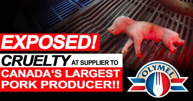 Breaking!! LCA Investigation Exposes Severe Cruelty at Supplier to Canada's Largest Pork Processor!