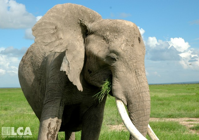 Good News for Elephants! U.S. Government Bans Nearly All African Elephant Ivory Sales