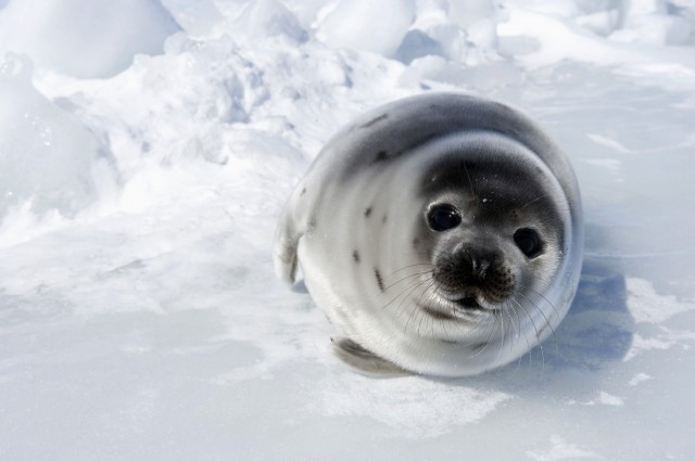3 Myths Canada's Commercial Seal Hunt Industry Wants You to Believe