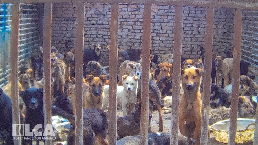Dogs collected off the streets wait in a slaughterhouse holding pen