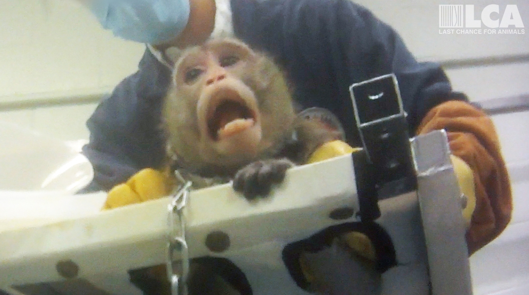 macaque chained to sling for study acclimation cropped